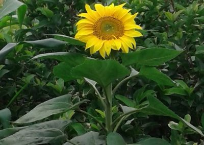 girasoles web 23