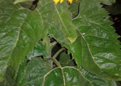 girasoles web 25