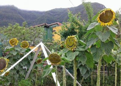 girasoles web 27
