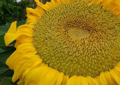 girasoles web 36